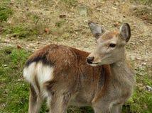 Primo piano di un cervo a Nara fotografie stock