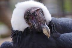 Primo piano di un condor Fotografia Stock Libera da Diritti