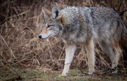 Primo piano di un coyote immagine stock libera da diritti