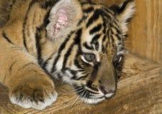 Primo piano di un cub di tigre immagini stock