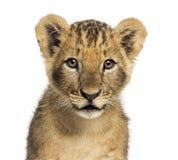 Primo piano di un cucciolo di leone che esamina la macchina fotografica, vecchio 10 settimane fotografia stock