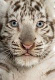 Primo piano di un cucciolo di tigre bianco Fotografie Stock