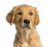 Primo piano di un cucciolo dorato di Retreiver fotografia stock