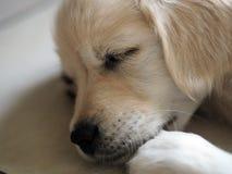 Primo piano di un cucciolo di due mesi di golden retriever fotografia stock libera da diritti