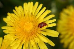 Primo piano di un Dandalion giallo con un Ladybug su esso. immagine stock libera da diritti