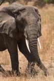 Primo piano di un elefante nel parco nazionale di Tarangire Immagine Stock