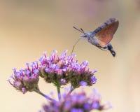 Primo piano di un falco-lepidottero 04 del colibrì fotografie stock