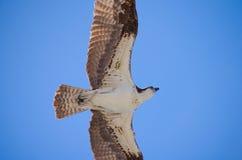 Primo piano di un falco scivolante del mare di caccia del falco pescatore Immagini Stock