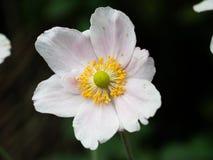 Primo piano di un fiore bianco con il centro giallo fotografie stock