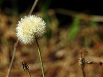 Primo piano di un fiore bianco del dente di leone nel campo immagini stock libere da diritti