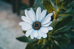 Primo piano di un fiore bianco isolato dei ecklonis di osteospermum Immagini Stock