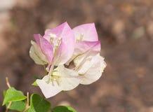 Primo piano di un fiore bicolore della buganvillea Fotografia Stock Libera da Diritti