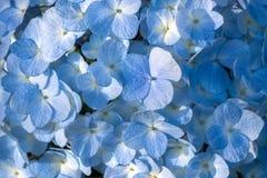 Primo piano di un fiore blu dell'ortensia fotografia stock