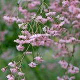 Primo piano di un fiore di ciliegia rosa d'attaccatura Sorgente Formato quadrato immagini stock