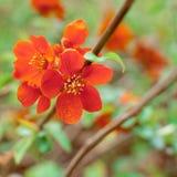 Primo piano di un fiore di ciliegia rosso Sorgente Formato quadrato immagini stock