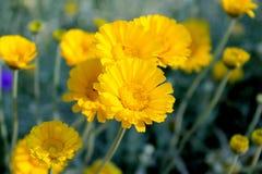 Primo piano di un fiore del tagete del deserto Immagine Stock