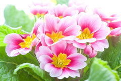 Primo piano di un fiore di colore rosa della sorgente Immagine Stock Libera da Diritti