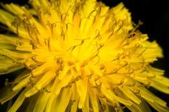 Primo piano di un fiore giallo del dente di leone Immagini Stock
