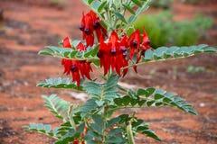 Primo piano di un fiore molto raro del pisello di deserto di Sturts Immagine Stock Libera da Diritti
