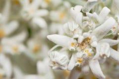 Primo piano di un fiore raro dell'edelweiss Immagini Stock Libere da Diritti