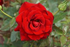 Primo piano di un fiore rosso con un germoglio del Caucasian della rosa Fotografie Stock Libere da Diritti