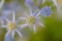 Primo piano di un fiore rotondo del cardo selvatico blu del formicolio Immagini Stock