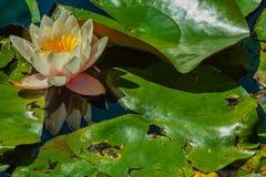 Primo piano di un fiorito waterlily Immagine Stock