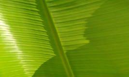 Primo piano di un foglio della palma della banana Pianta, sapientum immagine stock