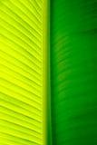 Primo piano di un foglio della palma della banana Immagini Stock Libere da Diritti