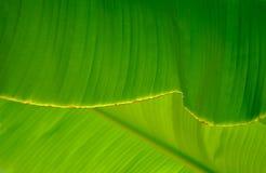 Primo piano di un foglio della palma della banana Fotografia Stock