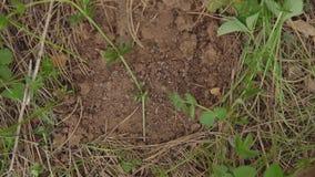 Primo piano di un formicaio distrutto Le formiche trascinano le larve nel sottosuolo archivi video