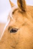 Primo piano di un fronte del cavallo Immagine Stock
