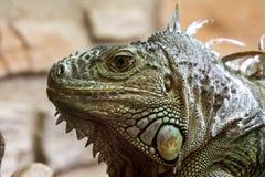 Primo piano di un fronte del reptil dell'iguana Immagine Stock