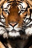 Primo piano di un fronte delle tigri. Fotografie Stock