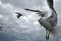 Primo piano di un gabbiano durante il volo Fotografia Stock Libera da Diritti