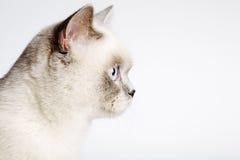 Primo piano di un gatto britannico dei capelli di scarsità fotografia stock libera da diritti