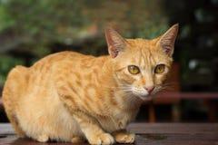 Primo piano di un gatto domestico giallo su un fissare della tavola Fotografia Stock