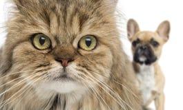 Primo piano di un gatto e di un cane che si nascondono dietro, isolato Fotografia Stock