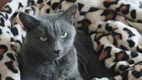 Primo piano di un gatto grigio stock footage