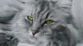 Primo piano di un gatto grigio archivi video