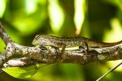 Primo piano di un genere delle lucertole di rettili Sedendosi su una palma con il g Fotografia Stock Libera da Diritti