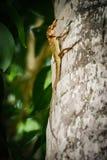 Primo piano di un genere delle lucertole di rettili Sedendosi su una palma Eatin Fotografie Stock Libere da Diritti