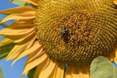 Primo piano di un girasole e di un ape Fotografie Stock Libere da Diritti