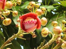 Primo piano di un guianensis di couroupita del fiore dell'albero della palla di cannone, un fiore esuberante, con i germogli fotografie stock libere da diritti