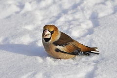 Primo piano di un hawfinch, Coccothraustes del Coccothraustes Immagini Stock Libere da Diritti