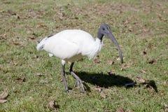 Primo piano di un Ibis bianco australiano Fotografia Stock