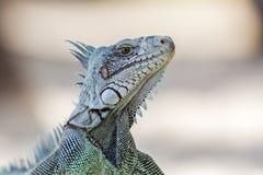 Primo piano di un'iguana & di un x28 verdi; Iguana& x29 dell'iguana; - La Guadalupa Fotografie Stock
