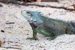 Primo piano di un'iguana & di un x28 verdi; Iguana& x29 dell'iguana; - La Guadalupa Fotografia Stock Libera da Diritti