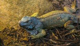 Primo piano di un'iguana, lucertola tropicale dall'America, animale domestico popolare in herpetoculture immagini stock