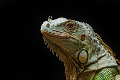 Primo piano di un'iguana verde maschio (iguana dell'iguana) Fotografie Stock Libere da Diritti
